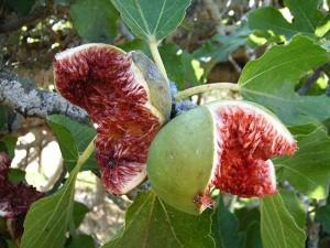 Fig-Iran (2)