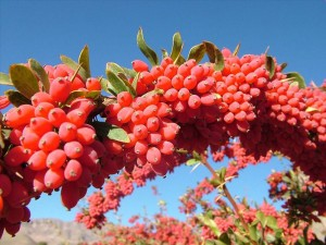 barberry-Iran (1)